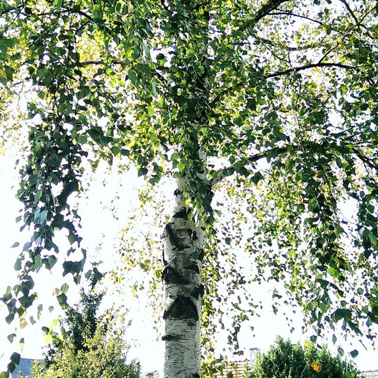 Brzoza Drzewko Tree