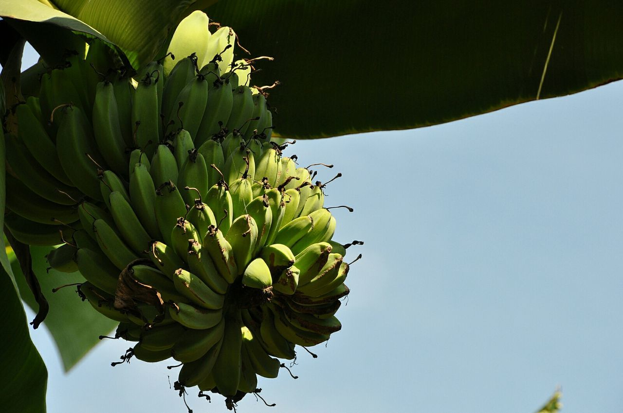 Wild banana tree in Indonesia Banana Tree Bananas Banana Wild Trees Nature At Its Best Nature On Your Doorstep Trees Around The World Trees Indonesia Simple Photography Simple Beauty Green Bananas Wild Bananas INDONESIA Vacation Tranquility Learn & Shoot: Simplicity Wild Fruit Welcome To Paradise Paradise On Earth Showcase May Paradise Travel