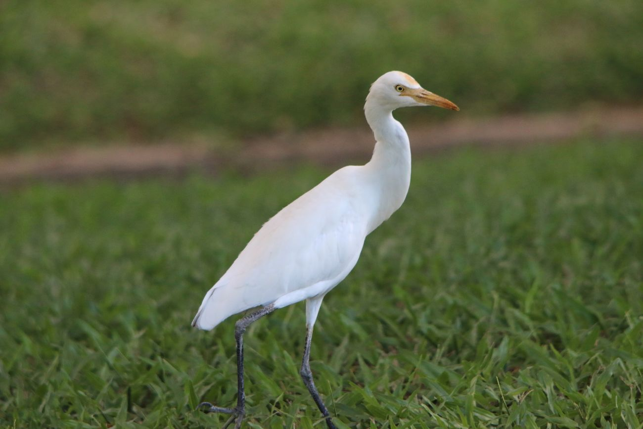 Egret Animal Themes Animal Wildlife Animals In The Wild Bird Close-up Day Field Grass Nature No People One Animal Outdoors White Color