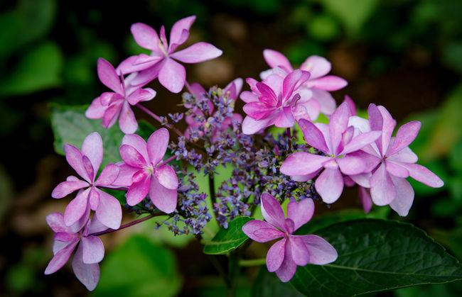 ダンスパーティーっていう品種みたいです。変わってますね♪あじさい 紫陽花 二本松寺 あじさいの杜 Hydrangea Flower Flower Collection Nature Photography Flowerporn