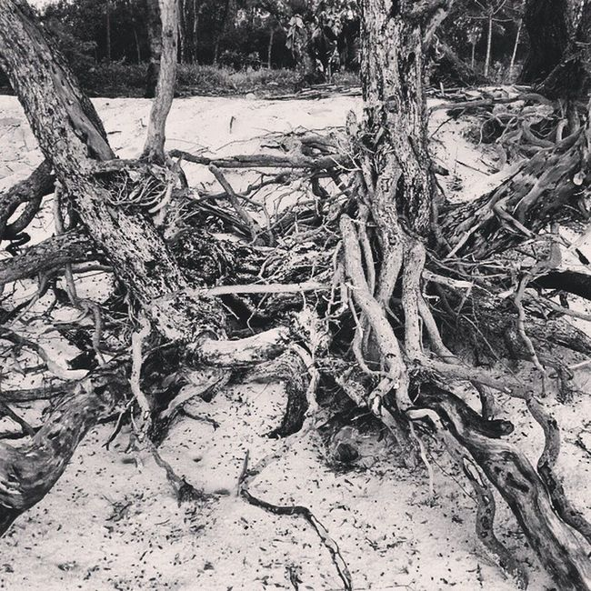 Roots Uprooted Trees Mangroves Hiddenbeach Zanzibar Tanzania Beach Sun Fun Sandy Gorgeous Country Bw Blackwhite