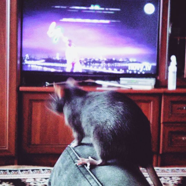 Relaxing Hello World AnimaLs <3 популярные фото пацюк Крысы крыска LADA животные <3 животный мир крыса Loveanimals❤️ радостии