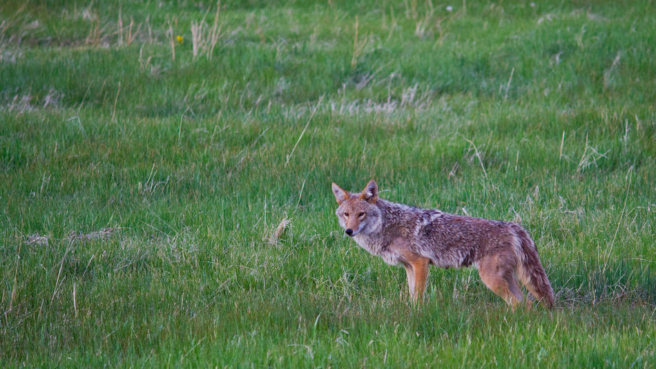 Beautiful stock photos of coyote, Animal Themes, Animal Wildlife, Animals In The Wild, Beauty In Nature