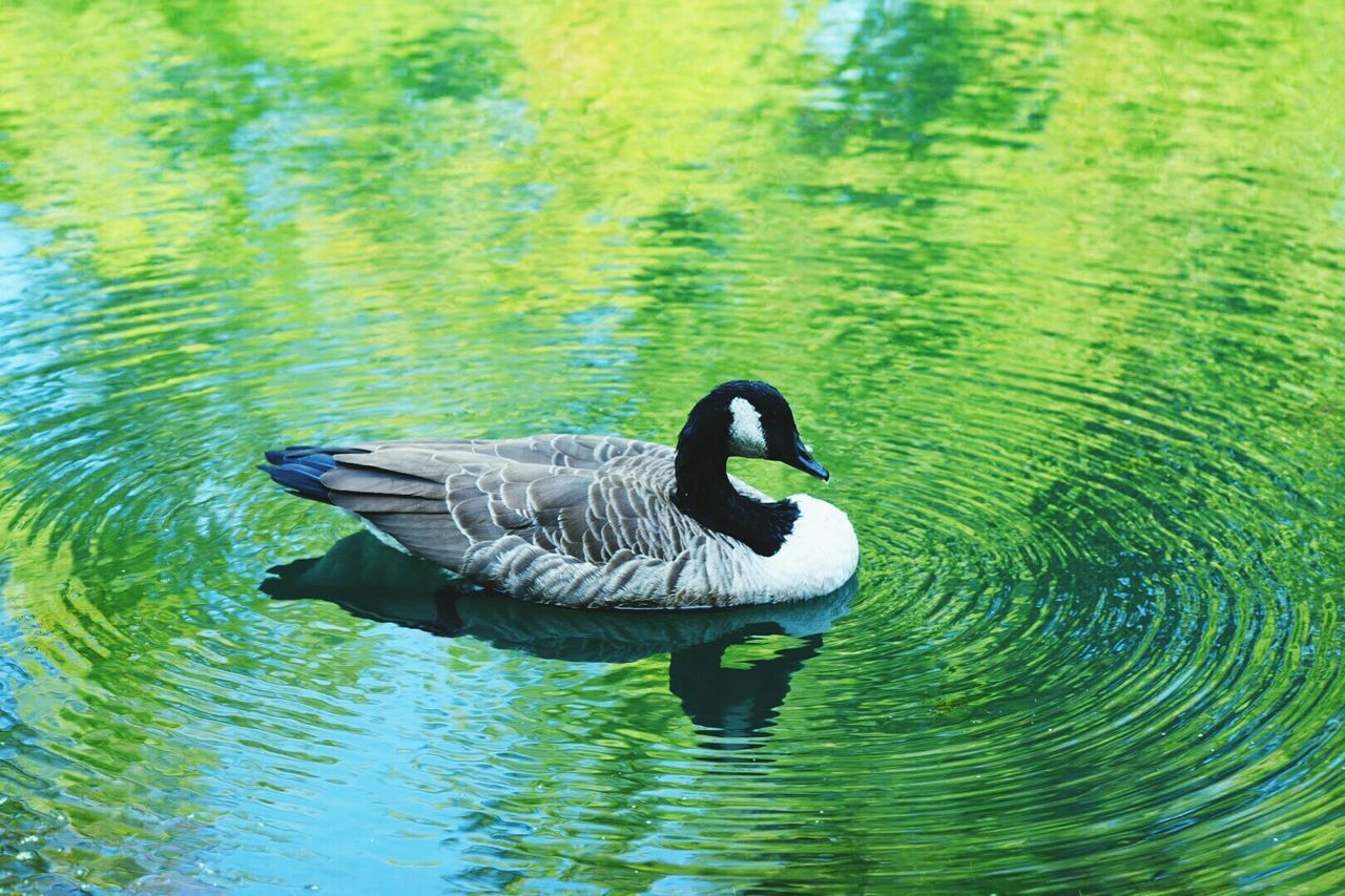 animals in the wild, animal themes, one animal, waterfront, lake, swimming, water, bird, nature, animal wildlife, day, outdoors, no people, water bird, beauty in nature