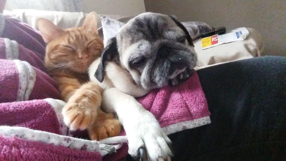 Domestic Animals Relaxation Animal Themes Pug Life  Cat♡ Cat Lovers Dog❤ Enjoying Life Getting Inspired Mascotas EyeEm Best Shots EyeEm Gallery Eye