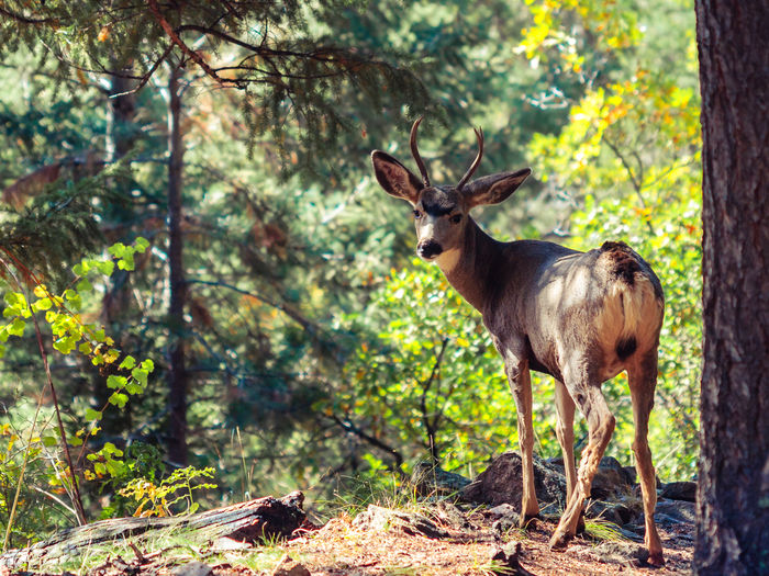 Animal Animal Themes Beauty In Nature Colorado Cute Animal Day Focus On Foreground Forest Hiking Hiking Trail Landscape Mammal Mount Falcon Park Mule Deer Nature No People Non-urban Scene Outdoors Tree Tree Trunk