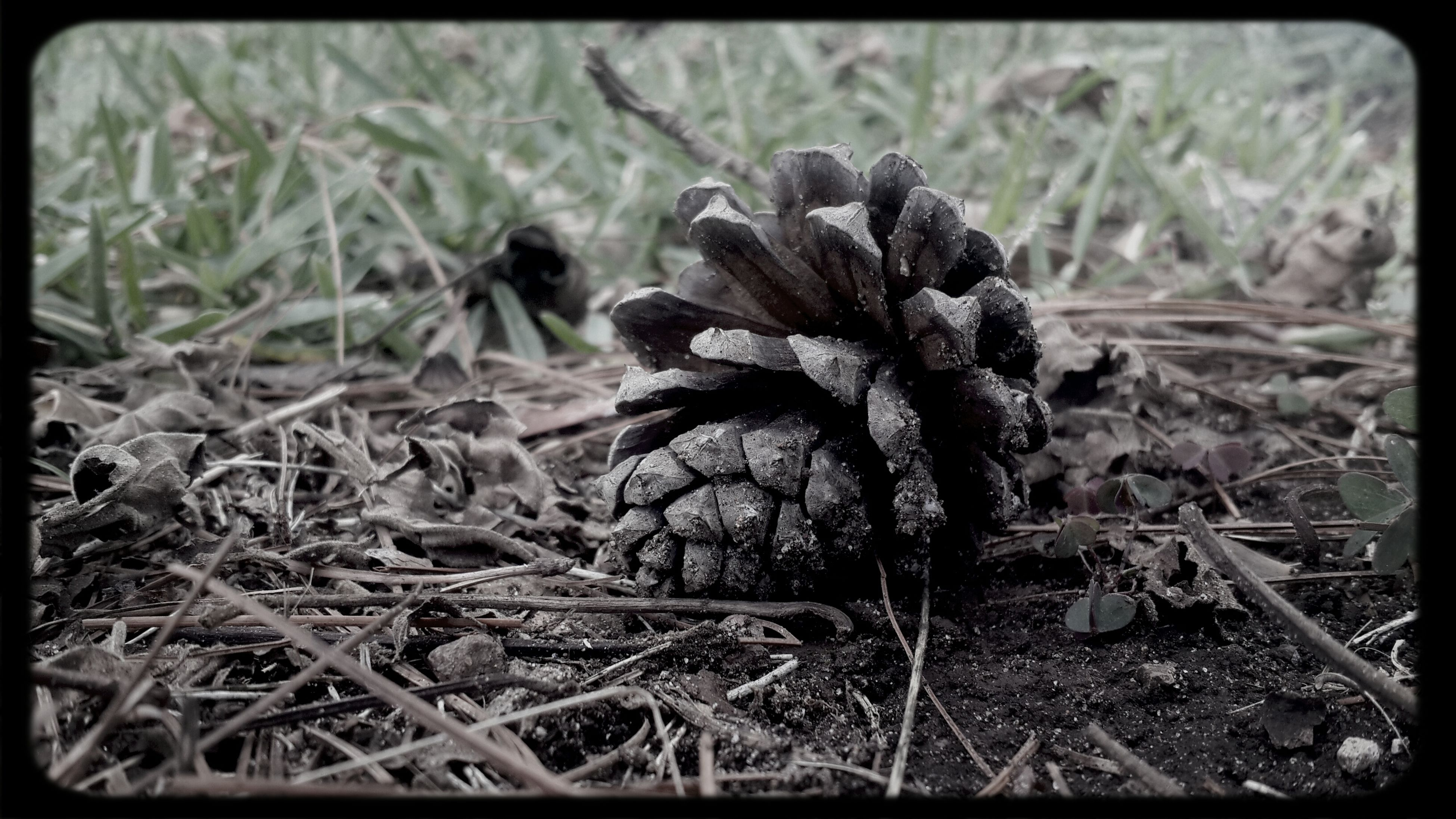 transfer print, dry, field, grass, growth, close-up, nature, auto post production filter, dead plant, plant, focus on foreground, pine cone, mushroom, day, outdoors, no people, forest, selective focus, tranquility, fungus