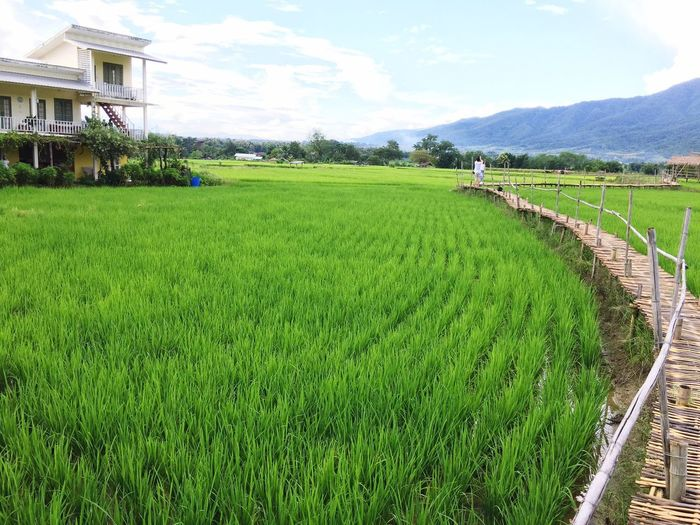 Homestay Agriculture Field Grass Nature Beauty In Nature Rice - Cereal Plant Landscape Green Color Rice Paddy