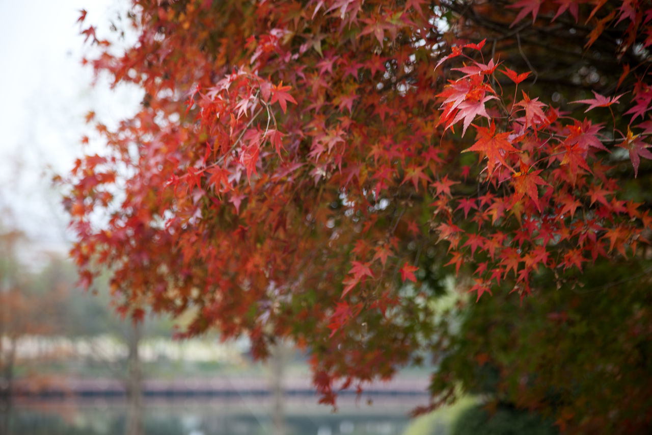 Jangsugun, Jeonbuk, South Korea Autumn Autumn Colors Beauty In Nature Branch Change Close-up Day Fall Growth Maple Maple Leaf Maple Leafs Nature No People Outdoors Red Sky Tree Water