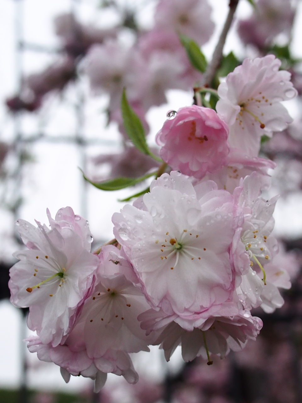 flower, fragility, blossom, beauty in nature, springtime, pink color, petal, botany, nature, growth, freshness, flower head, tree, close-up, white color, apple blossom, no people, branch, twig, stamen, day, focus on foreground, outdoors, plum blossom, blooming