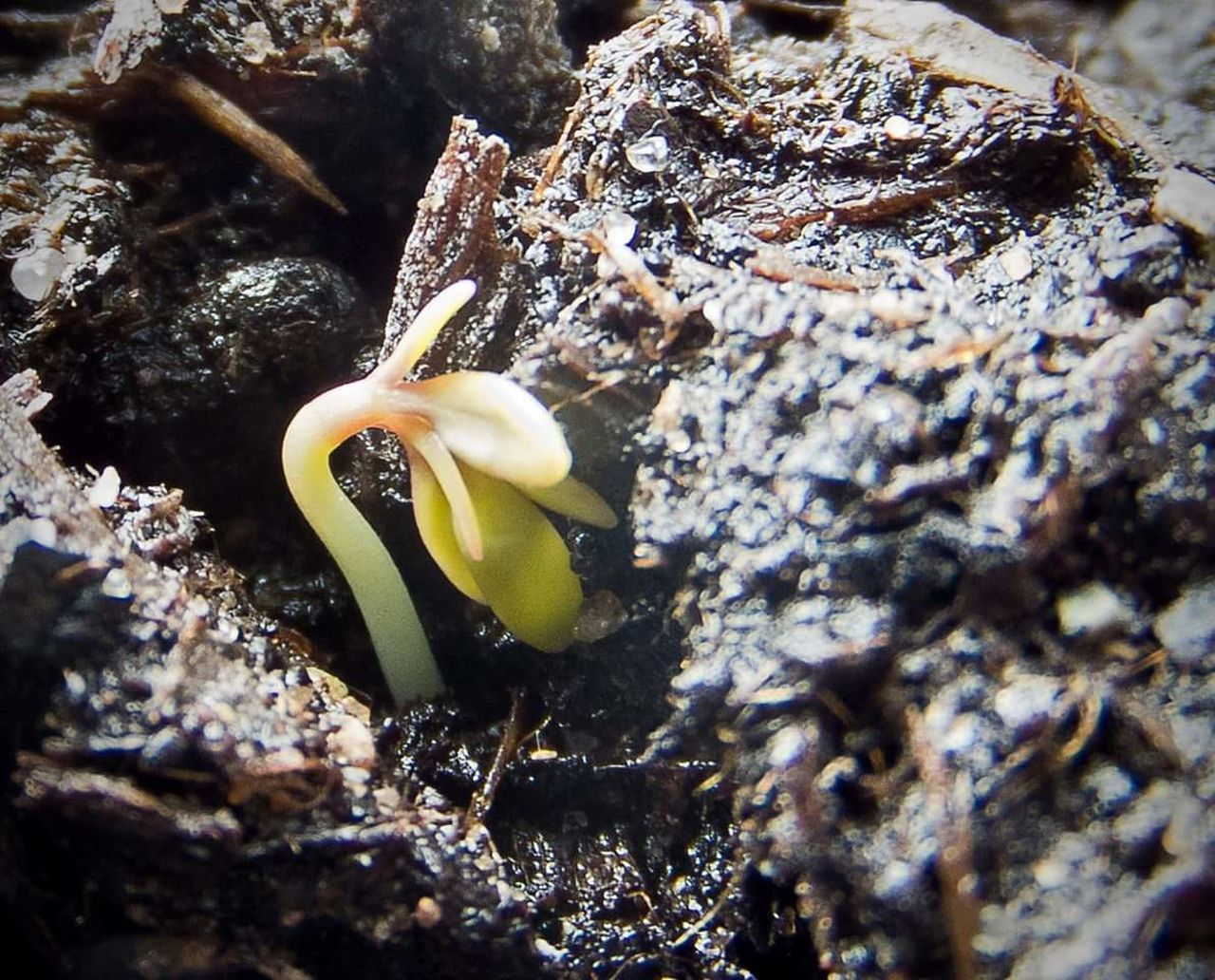 Emerging seedling Seedling Earth Porn Growing Growing Vegetables Plant Plantlife Emergence, New Life & New Hope Spring Springtime Garden Gardening Cotyledon Reaching For The Sky Nature Grow Your Own Homegrown