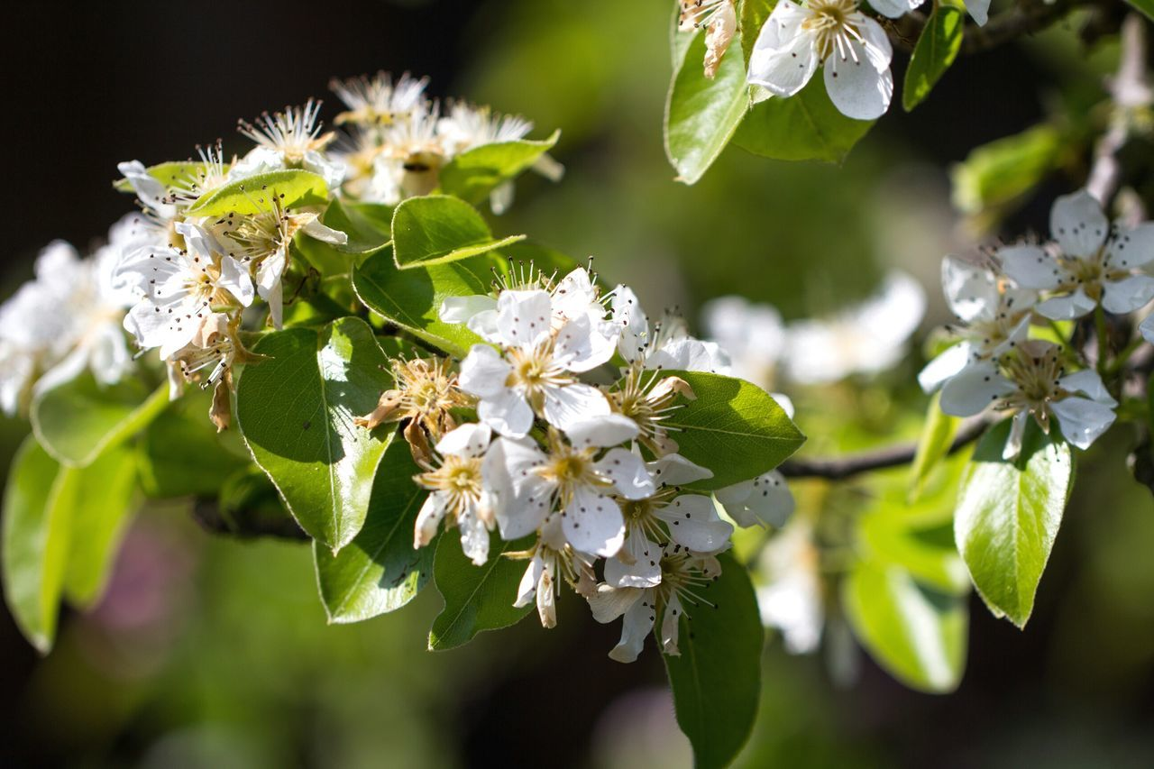 flower, fragility, growth, beauty in nature, nature, blossom, freshness, apple blossom, petal, tree, springtime, close-up, twig, branch, no people, flower head, day, outdoors, leaf, blooming