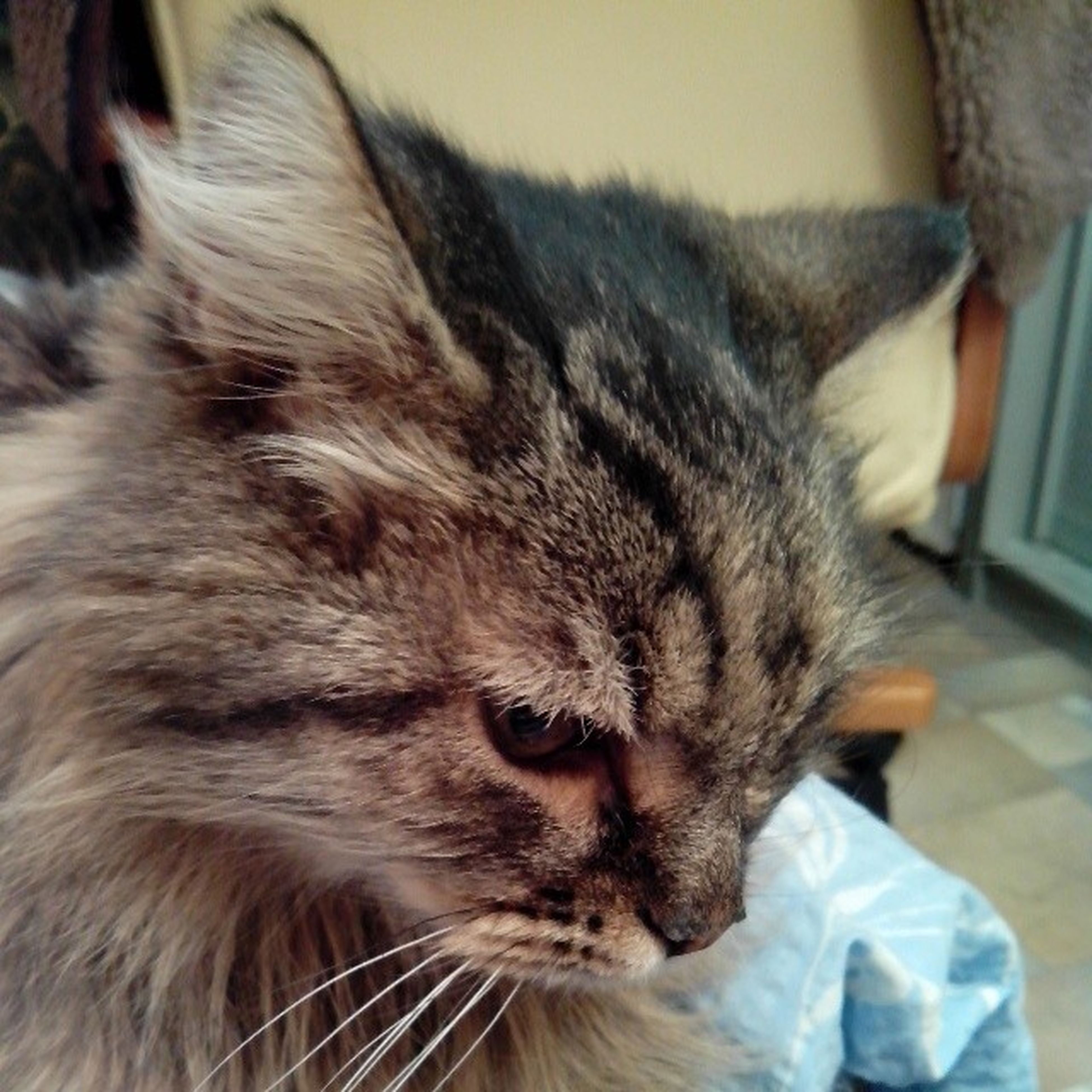 domestic cat, cat, pets, domestic animals, indoors, one animal, feline, animal themes, mammal, whisker, relaxation, close-up, home interior, animal head, resting, lying down, looking away, home, focus on foreground, bed