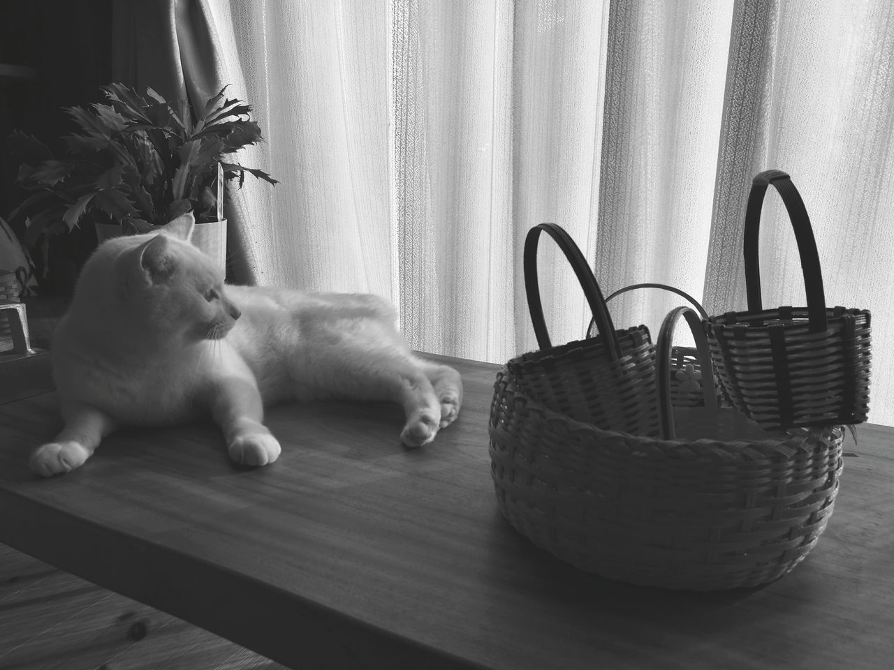basket, curtain, pets, indoors, domestic animals, dog, one animal, home interior, animal themes, mammal, no people, day, close-up