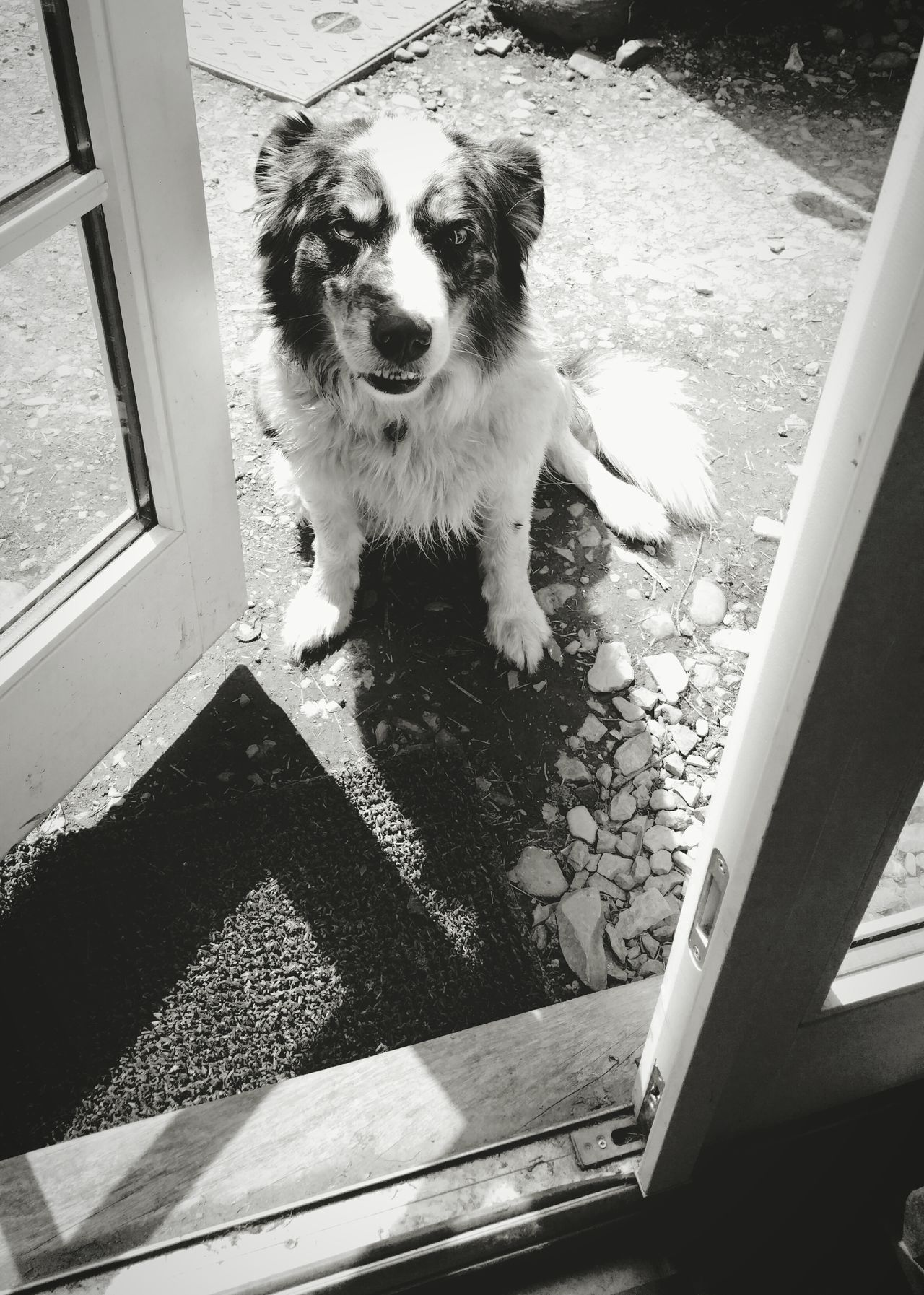 ... please let me in ... Pets Dog One Animal Animal Themes Domestic Animals Mammal Sitting Portrait Close-up Monochrome Mono Blackandwhite Black And White Sheepdog Border Collie Blue Merle Dogs Merle собака овчарка пес Light And Shadow Door Doorway French Doors Entrance