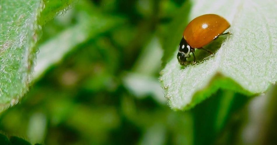 Ladybug Insect Johnson Macro Green Color Close-up Day No People Nature Leaf Outdoors