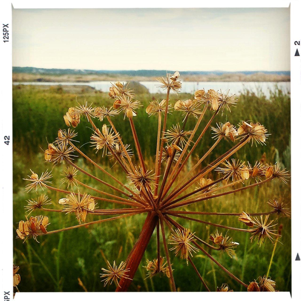 Dried flowers on field