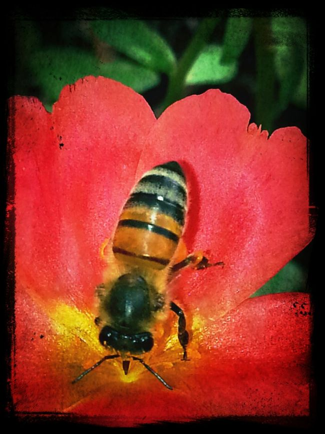 Bee_love Collecting Pollen Macro_bugs EyeEm Bugs