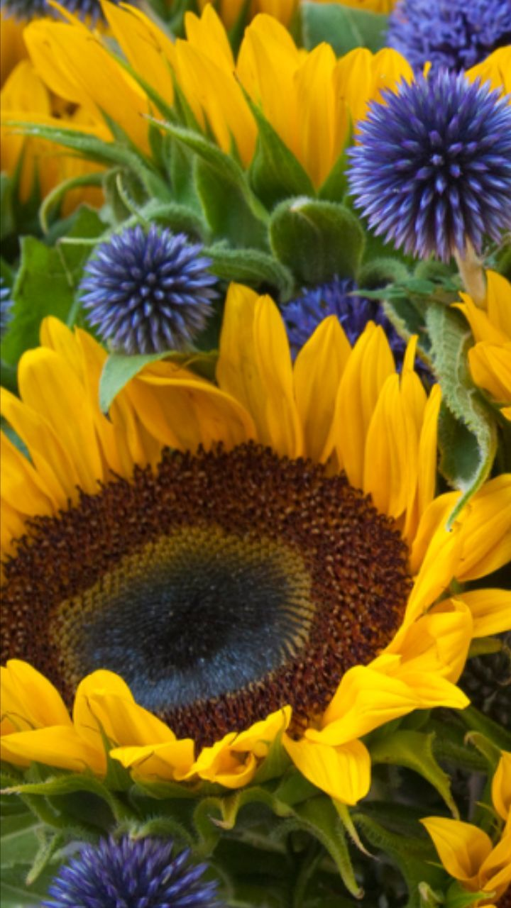flower, petal, fragility, beauty in nature, flower head, freshness, yellow, growth, nature, sunflower, plant, blooming, no people, pollen, full frame, purple, elegance, field, close-up, backgrounds, outdoors, day