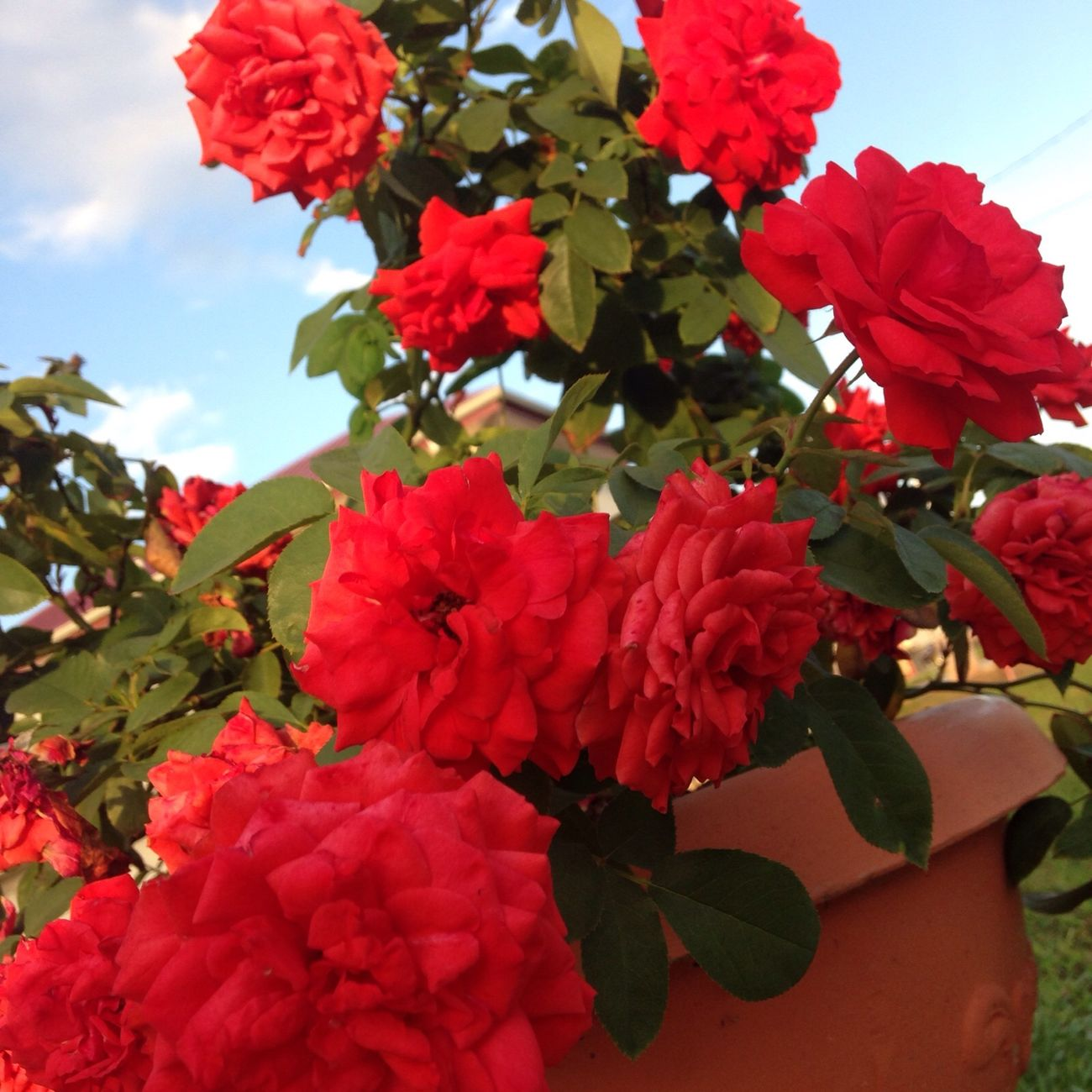 Red Roses Pretty Flowers My Roses In My Garden In My Yard Pretty Rose