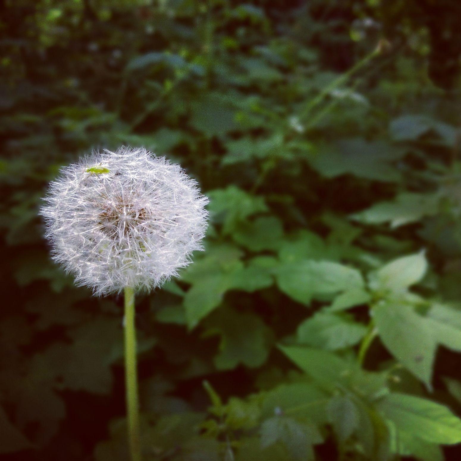 Normafa Blowball Pitypang Nature Green
