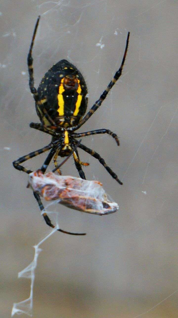 one animal, animal themes, spider, animals in the wild, spider web, insect, close-up, day, no people, animal wildlife, outdoors, nature