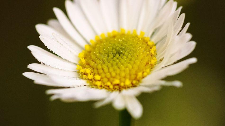 Erigeron Daisy Flowers Macro