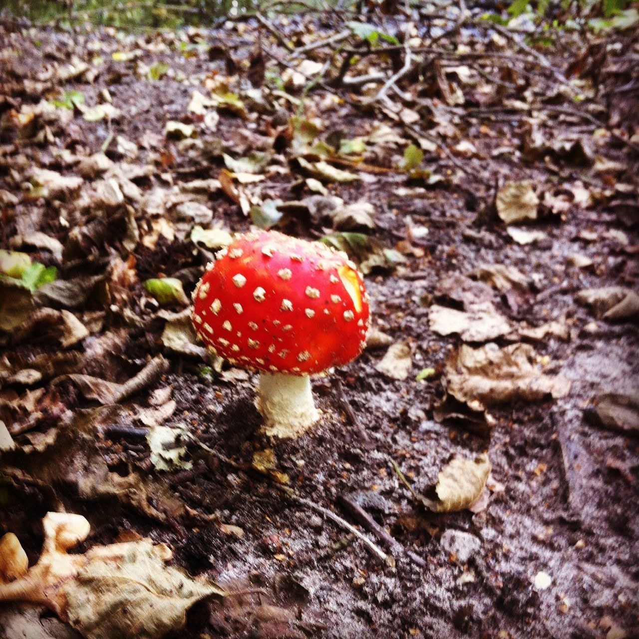 Red Fungus Nature Growth Close-up Forest Spotted Toadstool Outdoors