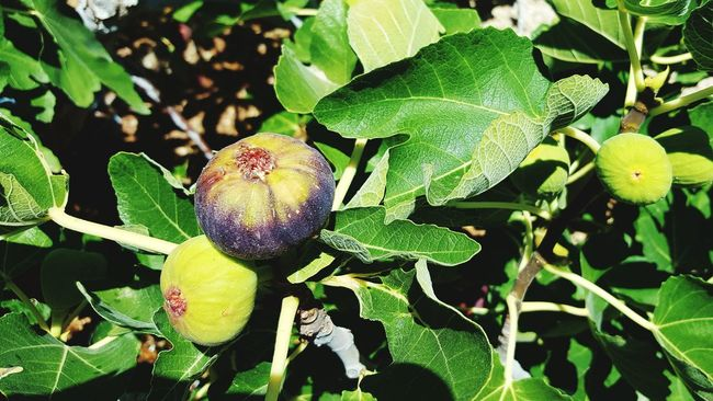 Figalicious Fig Tree Figs Nature Homegrown