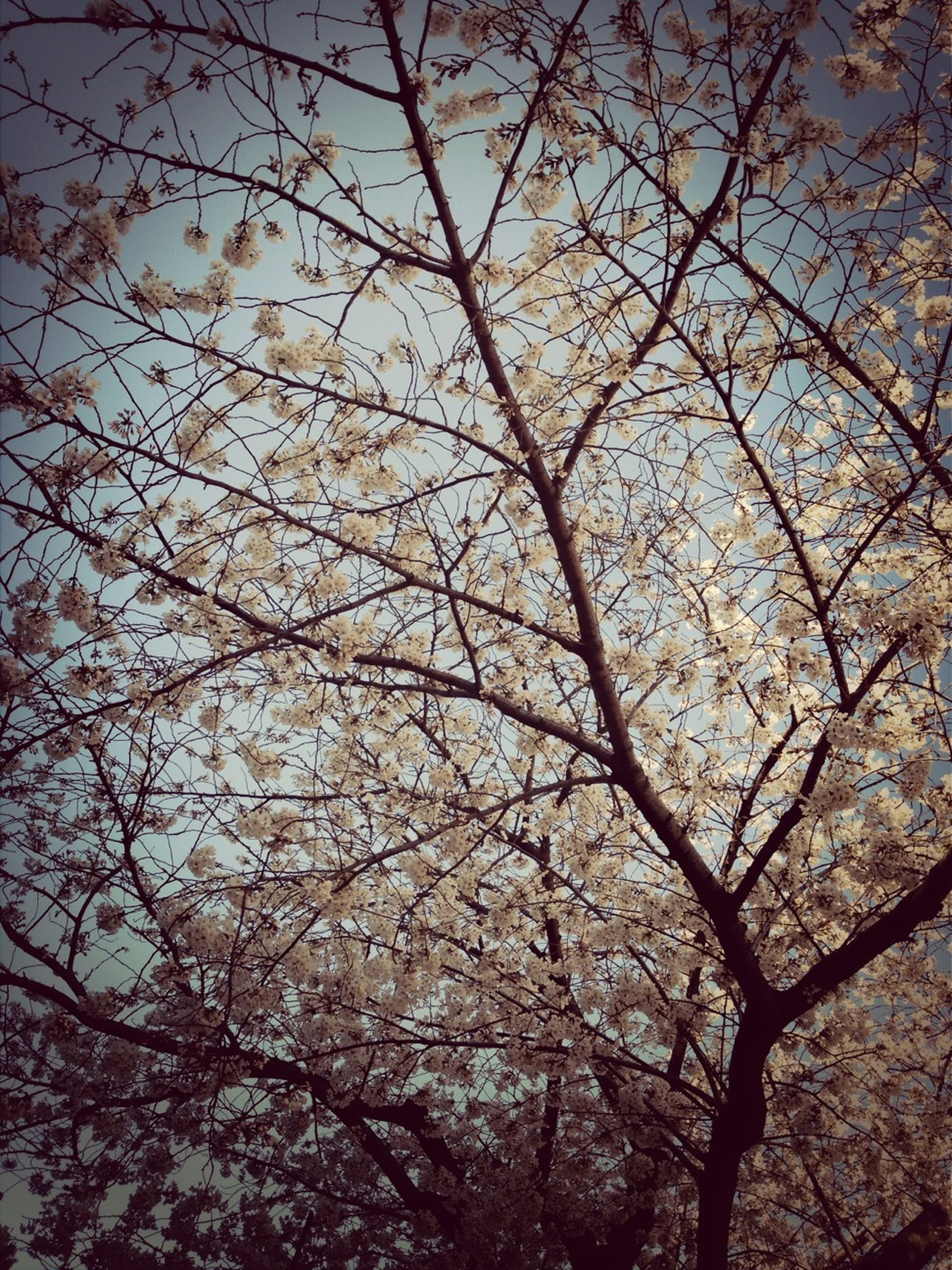 tree, branch, low angle view, growth, flower, beauty in nature, nature, freshness, sky, blossom, fragility, tranquility, outdoors, cherry blossom, no people, day, springtime, clear sky, cherry tree, scenics