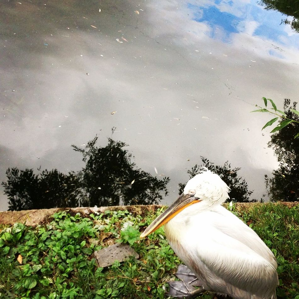 Pelican Nature Enjoying Life People Watching
