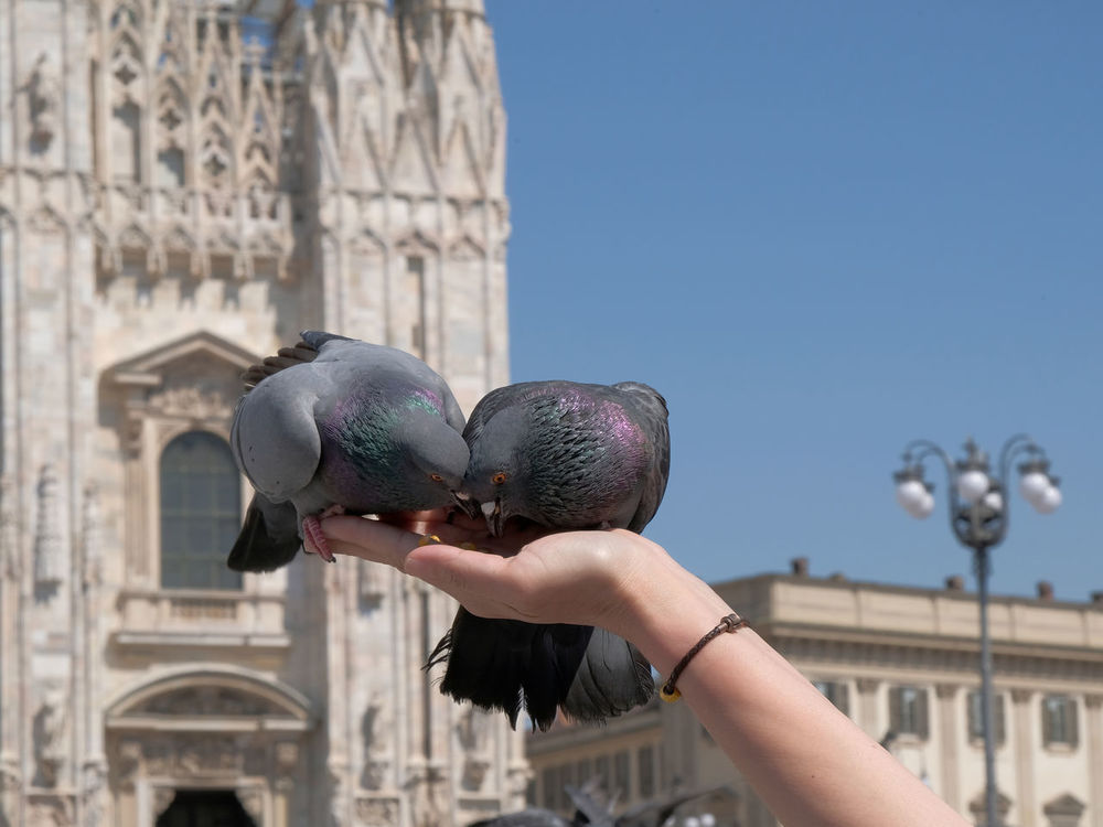 Animal Themes Architecture Bird Building Exterior Built Structure City Clear Sky Close-up Day History Holding Human Body Part Human Hand Milano One Animal One Person Outdoors People Perching Piazza Del Duomo Real People Sky Statue The Street Photographer - 2017 EyeEm Awards Travel Destinations