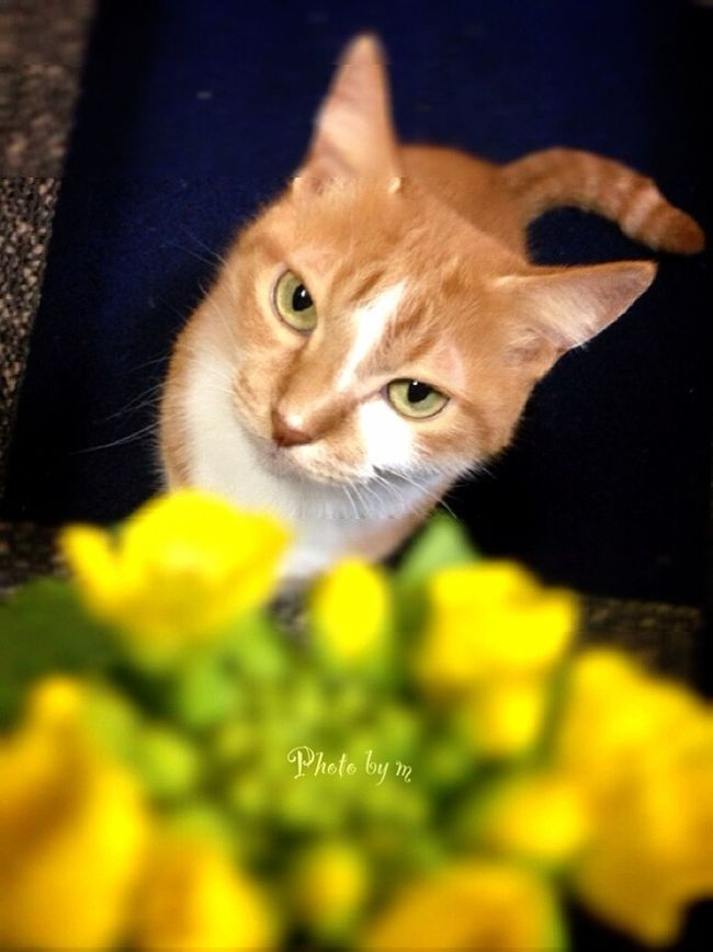 Cat Cat♡ Cat Lovers 猫 茶トラ猫 ウチの姫様 My Cat Photography Playing With The Animals 猫と花