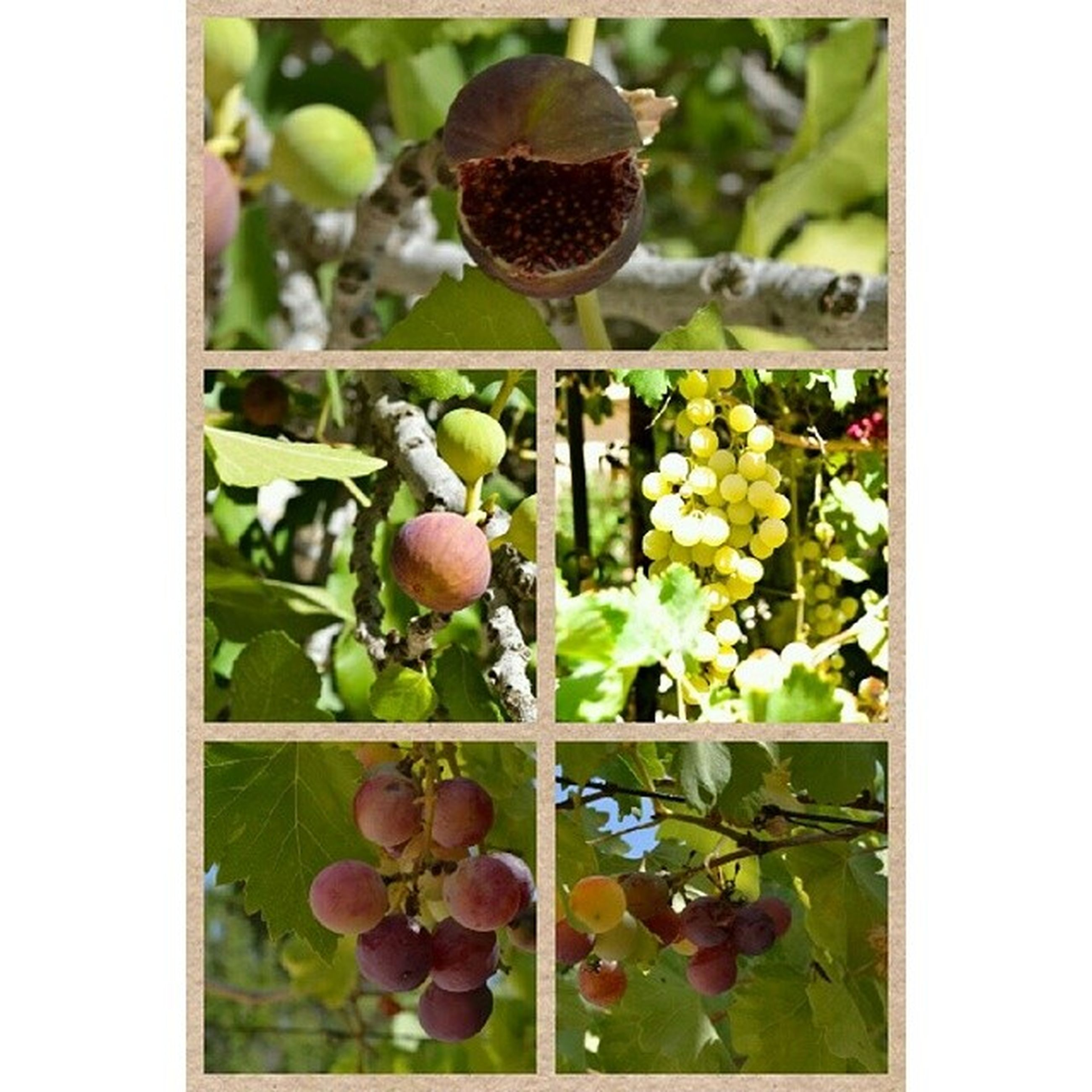 transfer print, food and drink, fruit, healthy eating, food, auto post production filter, freshness, growth, green color, close-up, leaf, ripe, organic, bunch, grape, nature, abundance, agriculture, apple, tree