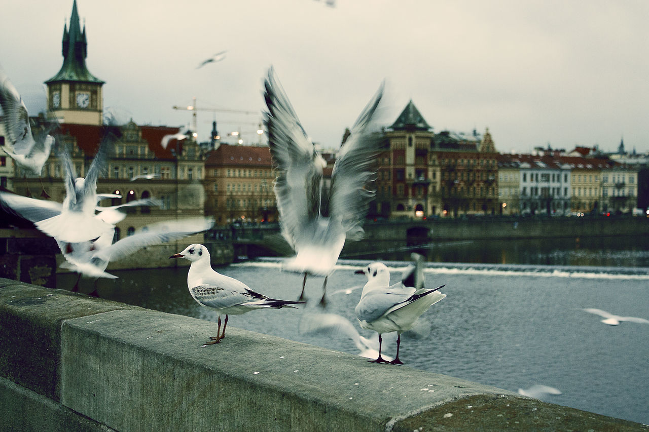 Adapted To The City Animal Themes Bird Bridge Building Exterior City Czech Republic Day Flying No People Outdoors Praha River Seagull Seagulls Sky Swan Travel Destinations Water Stopmotion