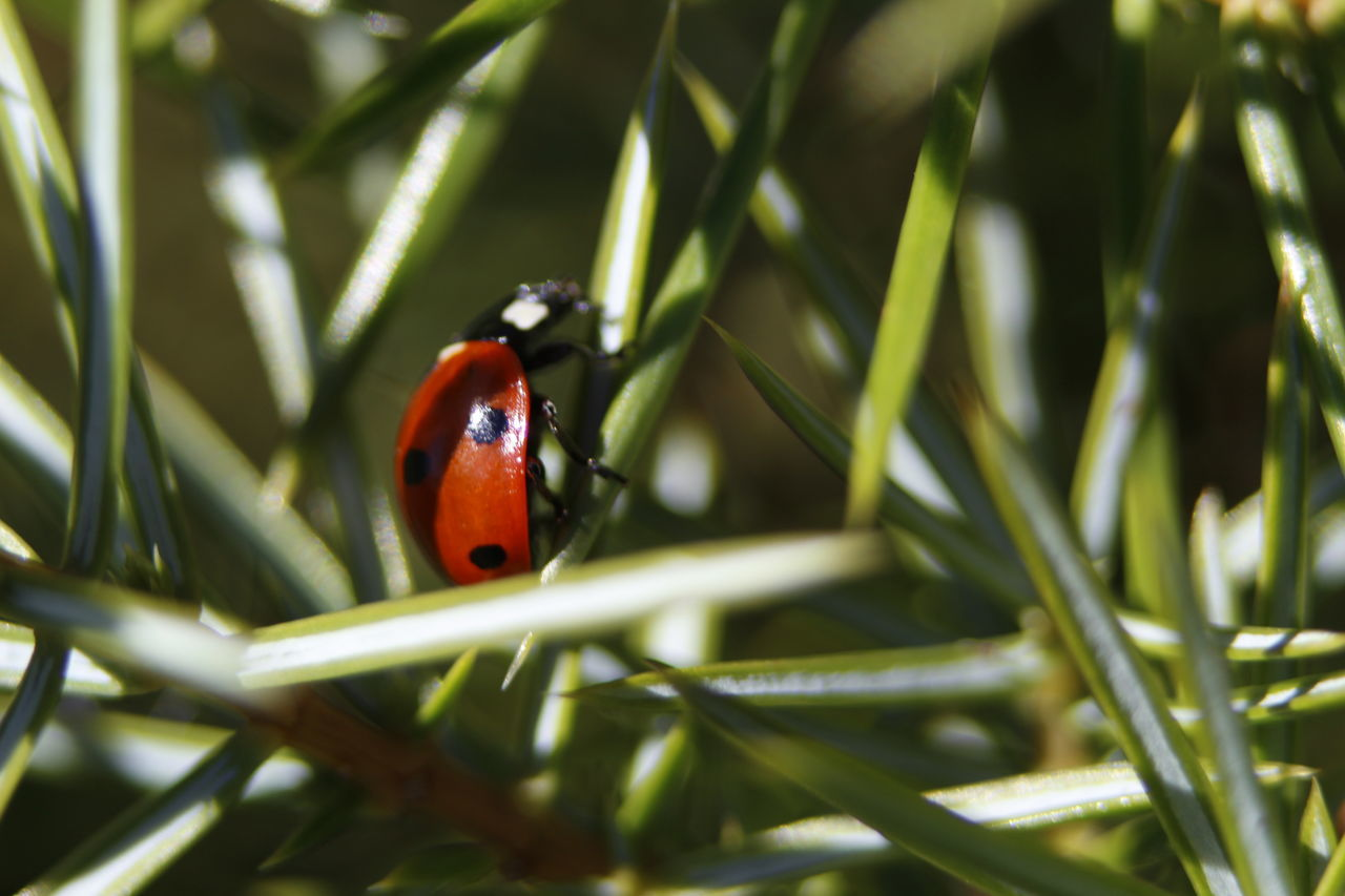Nature One Animal Animal Themes Animals In The Wild Wildlife Insect Ladybug Close-up Plant Growth Zoology Nature Flower Beauty In Nature Focus On Foreground Freshness Blade Of Grass Fragility Day Outdoors Bug