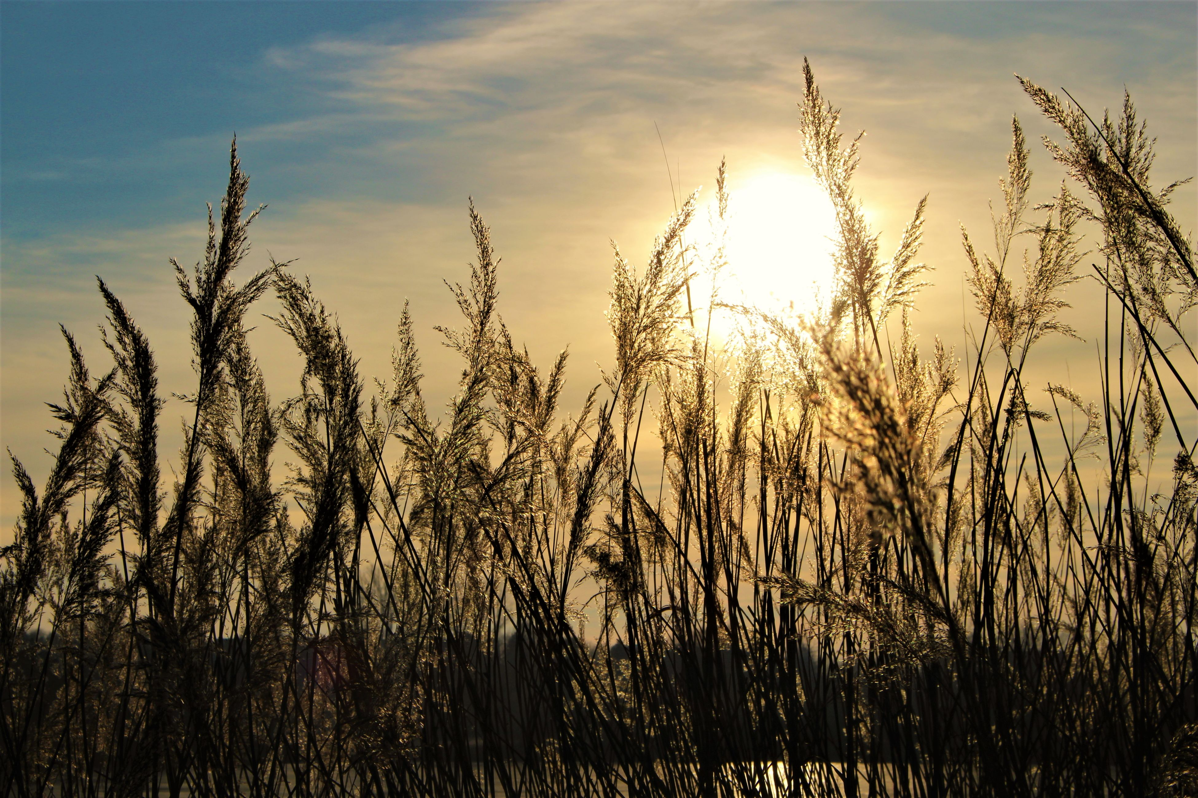sunset, nature, rural scene, growth, plant, silhouette, cereal plant, landscape, sky, beauty in nature, agriculture, no people, outdoors, scenics, tranquil scene, close-up, gold colored, backgrounds, wheat, day