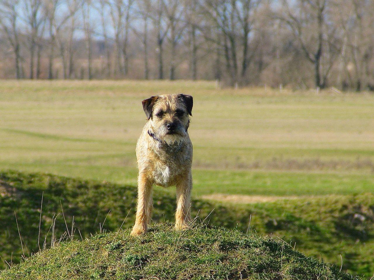 Full length portrait of Border Terrier standing on field