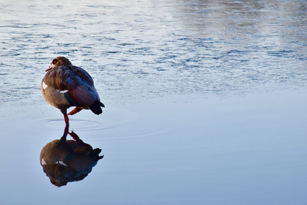 one animal, animal themes, reflection, bird, water, animals in the wild, nature, lake, waterfront, no people, animal wildlife, day, outdoors, beauty in nature