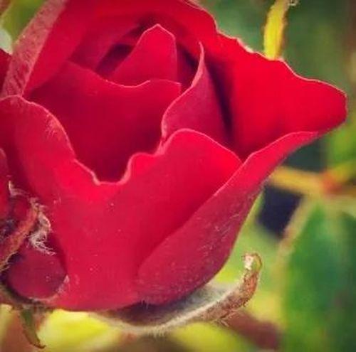 🌷 Flowers 🌹 Beautifulrose Red Rose