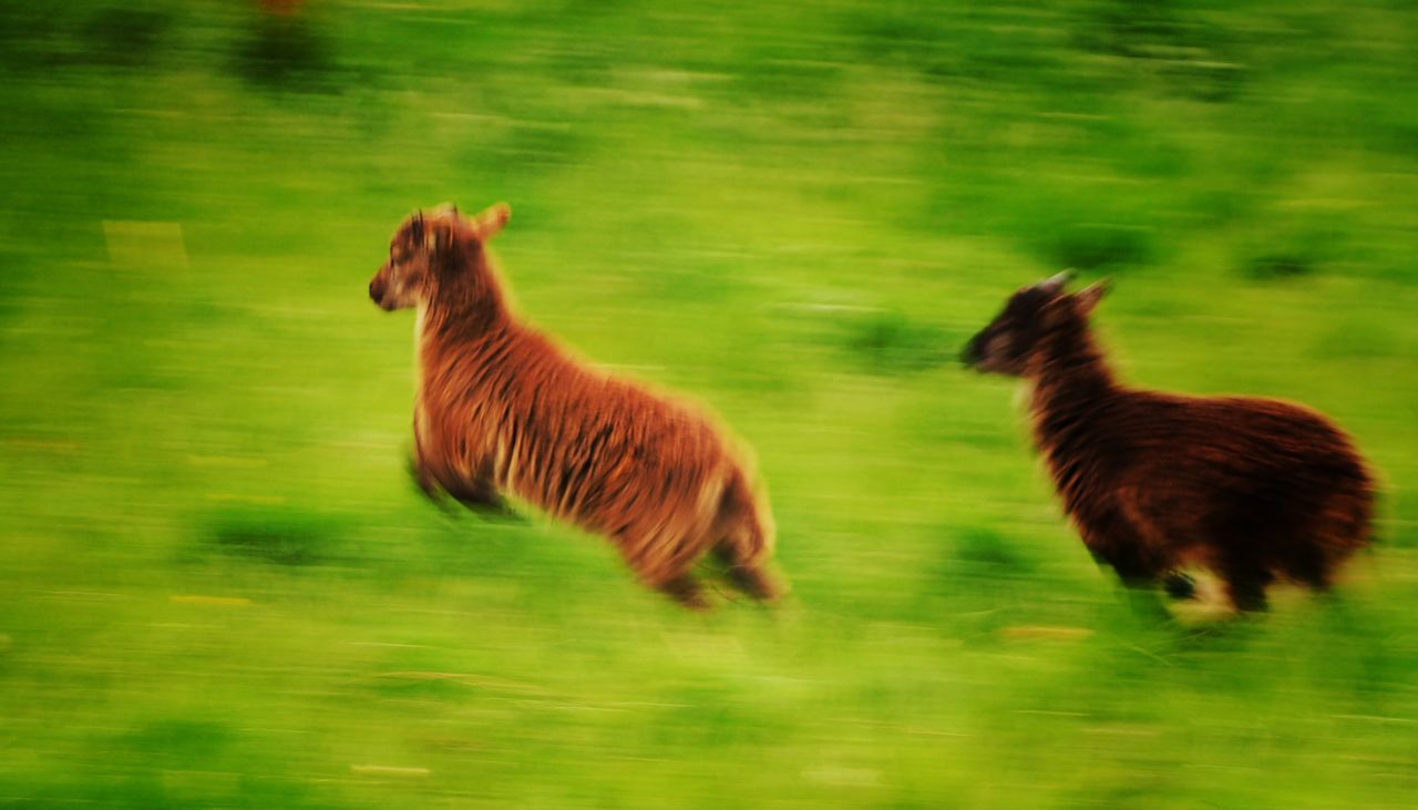 Soay Lambs at speed! Walking Around RareBreed Soay Sheep Animals Farm