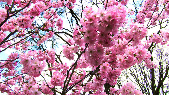 Beauty In Nature Blossom Cherry Blossom EE Love Connection! Eye4photography  Eyemphotography Freshness In Bloom Nature Nature Photography Nature_collection Pink Pink Color Sky Sky And Clouds Spring Springtime Sunlight Taking Photos Tranquility Tree