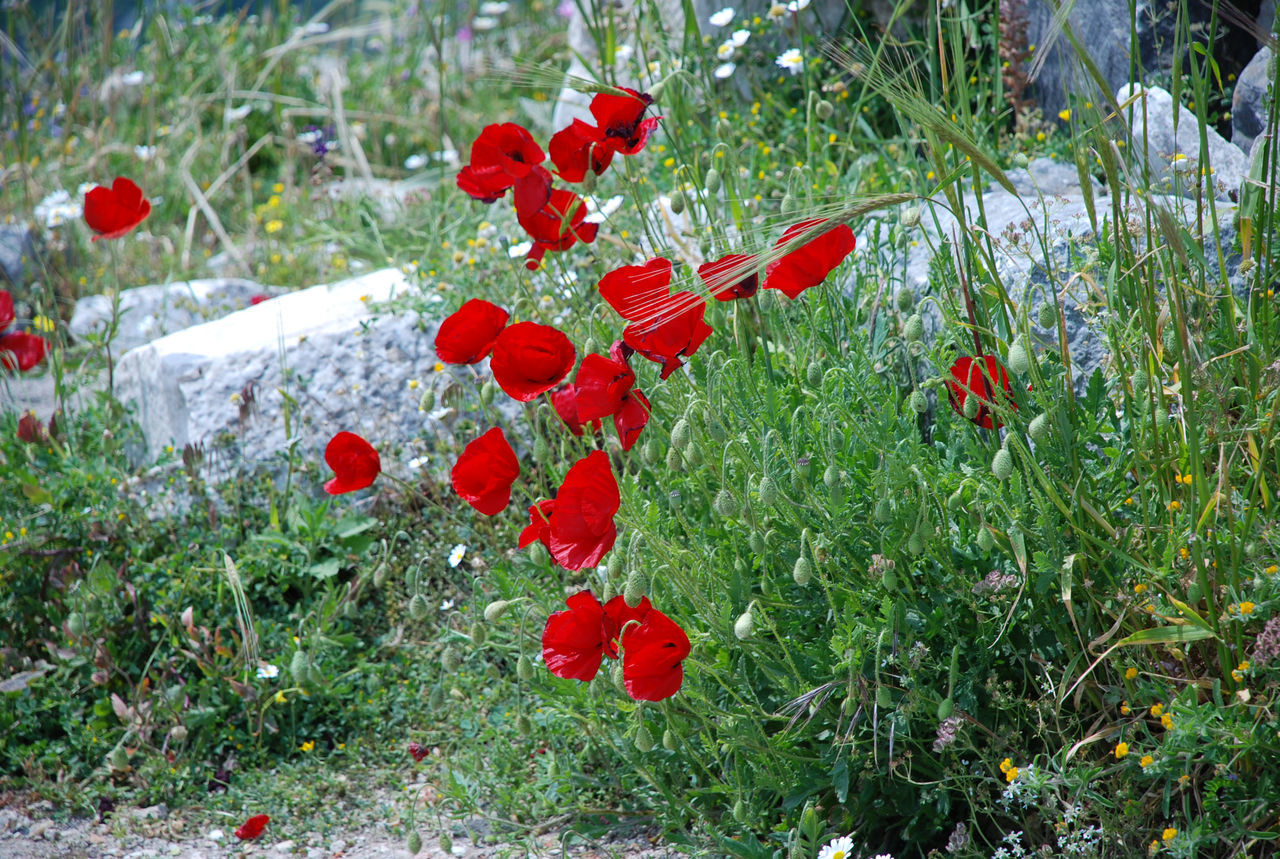 Wild poppies Beauty In Nature Close-up Day Flower Flower Head Fragility Freshness Grass Growth Nature No People Outdoors Plant Poppy Red Spring Spring Flowers