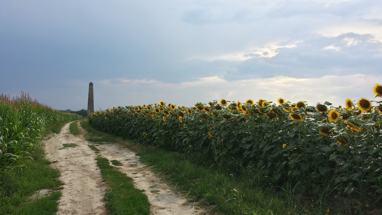 Beautiful stock photos of sunflower, Agriculture, Beauty In Nature, Day, Fadd