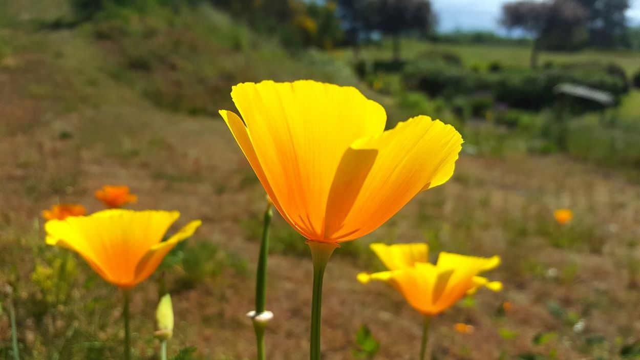 Flowers Flowerporn Flower Collection Orange Yellow-orange Yellow Flowers Orange Flowers Cheery Nature EyeEm Nature Lovers Nature_collection Blooming Wildflowers Delicate Fragile Simple Beauty In Nature Beauty Details Of Nature Outdoor Photography Focus On Foreground Spring Spring Flowers