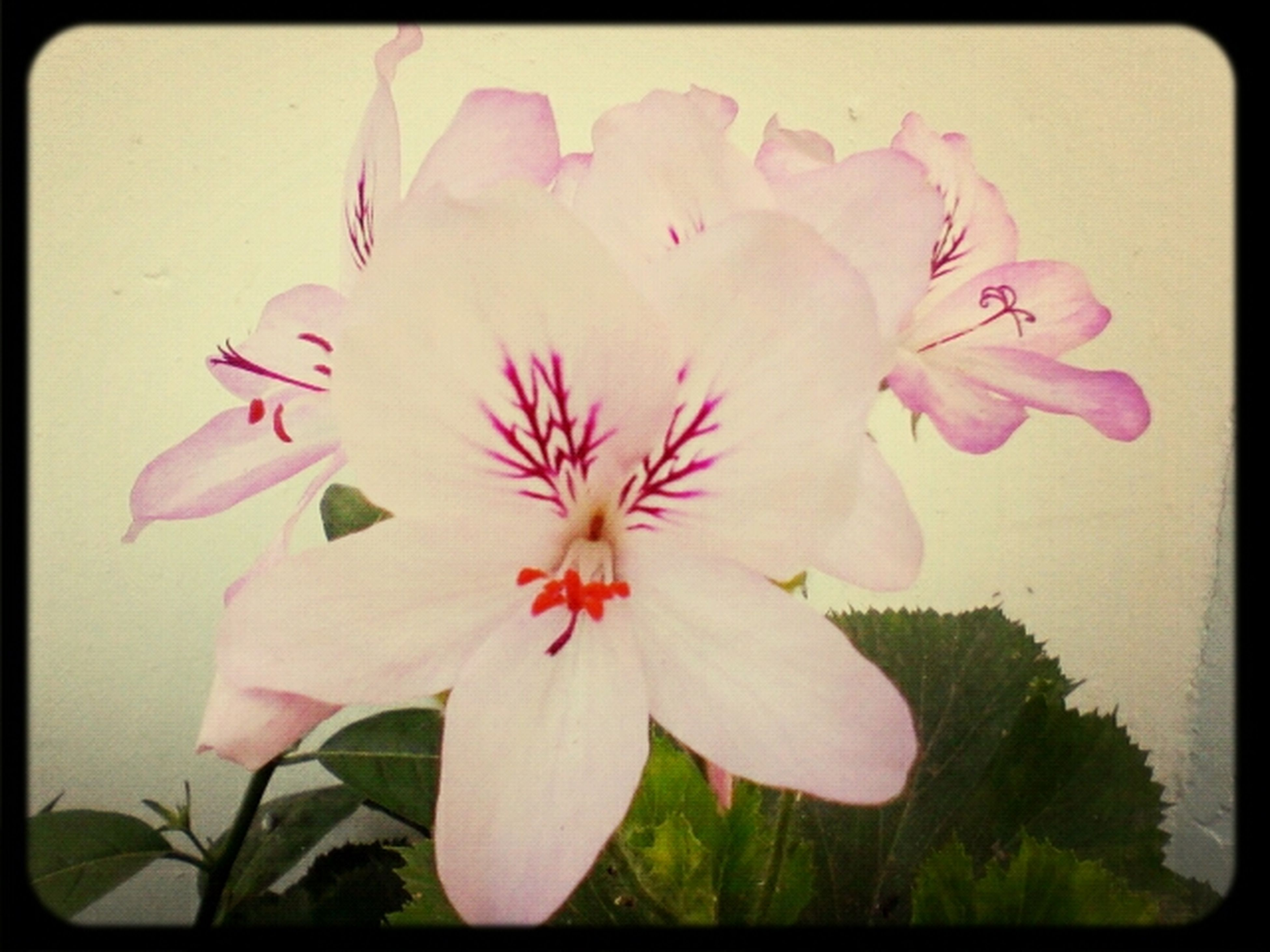 flower, petal, freshness, flower head, fragility, transfer print, growth, beauty in nature, close-up, auto post production filter, blooming, nature, plant, pink color, white color, pollen, in bloom, stamen, blossom, single flower