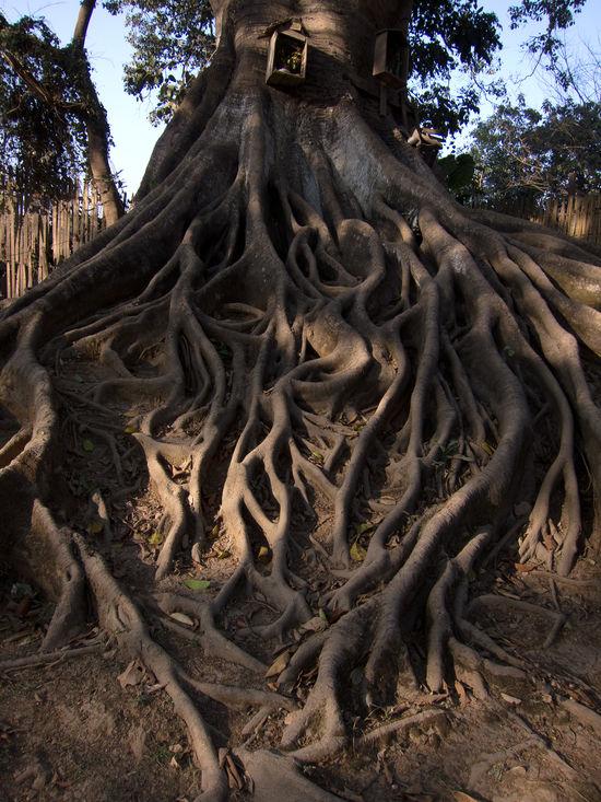 Birma Burma Growth Myanmar Pyin Oo Lwin Pyinoolwin Tree Tree Trunk