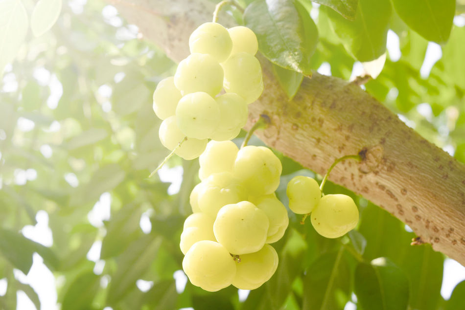 Agriculture Beauty In Nature Branch Close-up Day Food Food And Drink Freshness Fruit Grape Green Color Growth Leaf Low Angle View Nature No People Outdoors Plant Tree