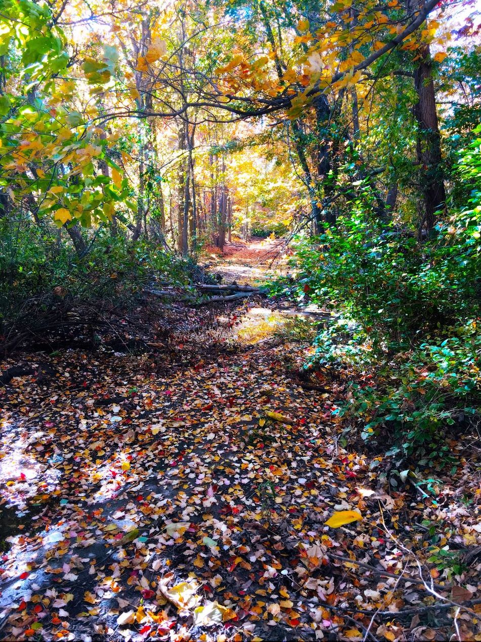 Nature walking Autumn Change Fallfoliage Tree Leaf Nature Beauty In Nature Outdoors Fall Scenics Tranquil Scene Tranquility Leaves Fallen Leaf Environment Path Iphonephotography Taking Pictures Relaxedand Happy Woods