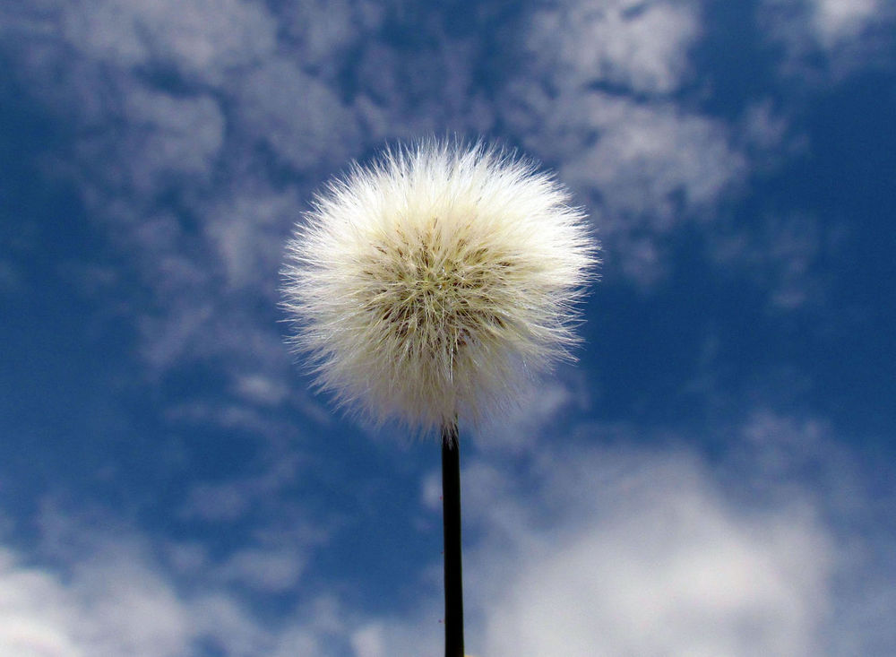Blow Ball Blue Sky Clouds And Sky Cotton Dandelion Dentedeleao Macro Macro Photography Macro_collection Nature Nature_collection Plant